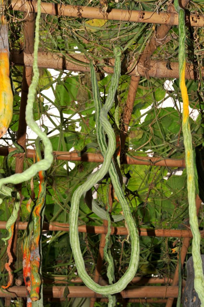 hanging snake gourd fruit