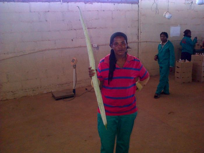 Photo of a snake gourd being held by Malebogo