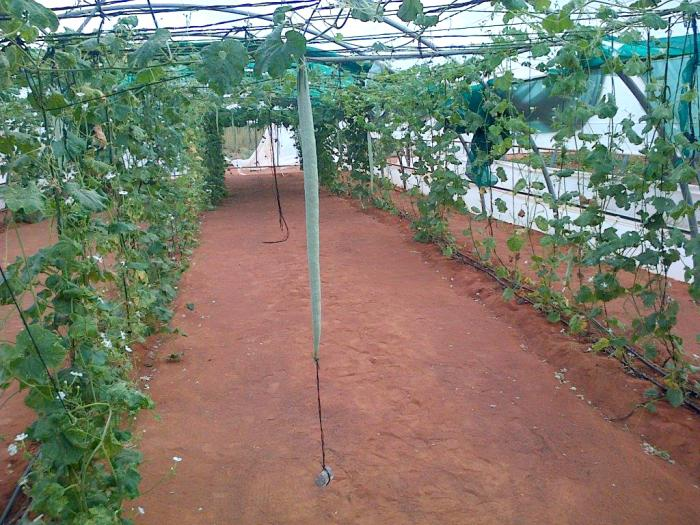 Photo of snake gourds in a polytunnel