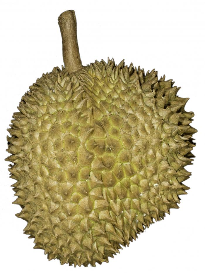 Durian fruit with spikey outer husk