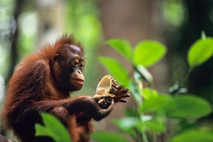 Photo of Orang Utan eating durian