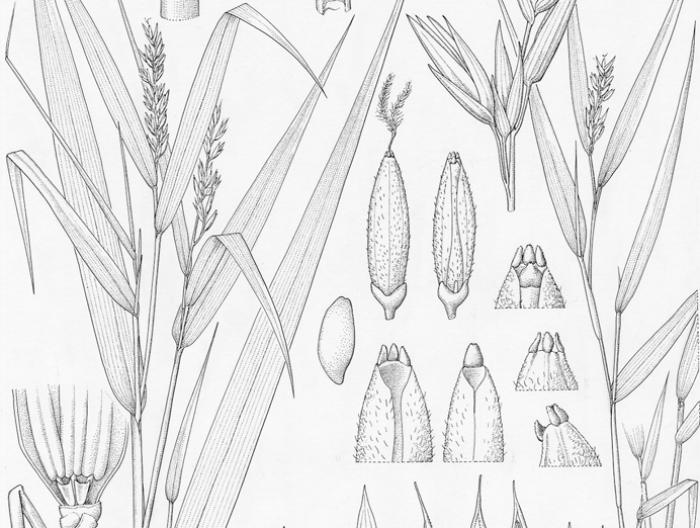 A section of Lucy Smith's award winning Lecomtella illustration