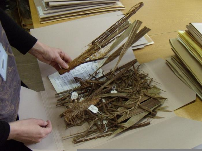 Examples of dried palm specimens folded for storage