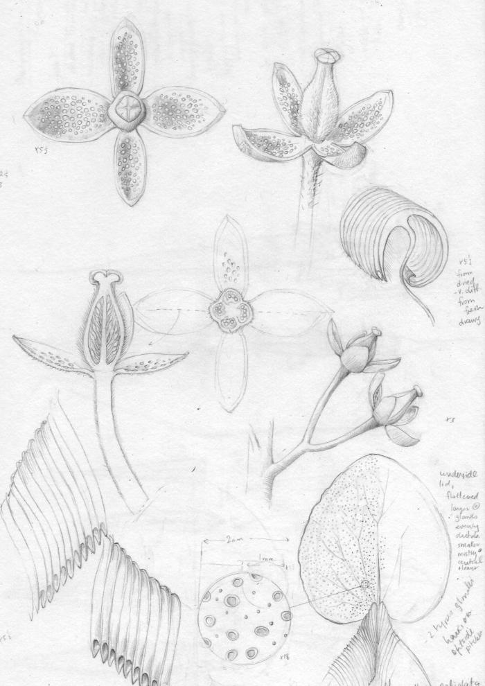 A working drawing by botanical illustrator Lucy Smith