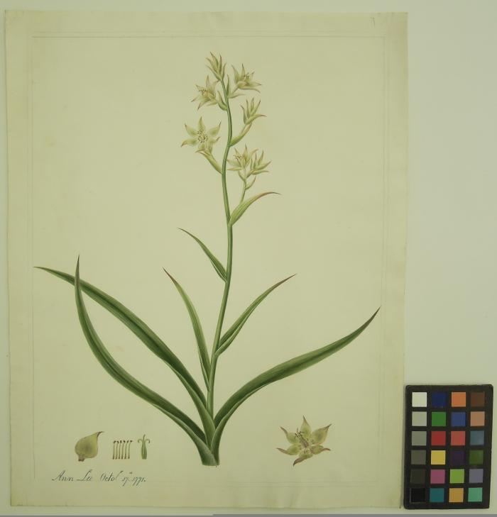 botanical illustration by Ann Lee