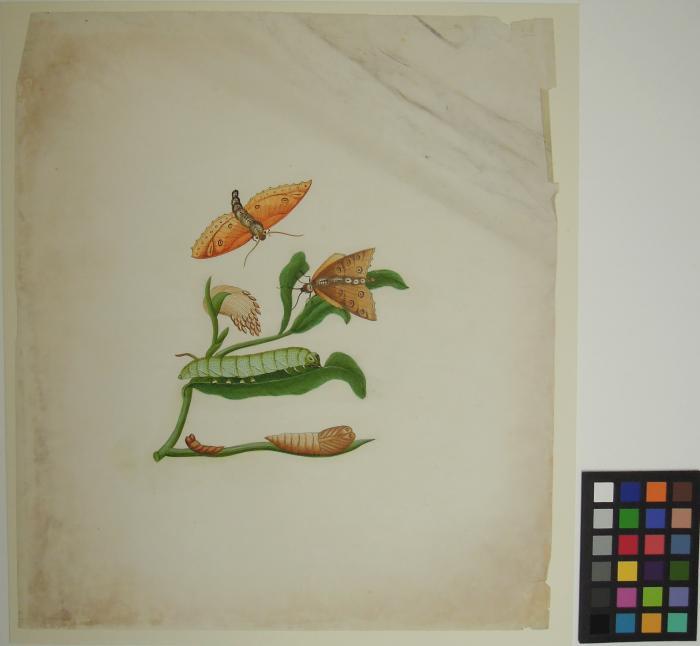 Chinese botanical watercolour