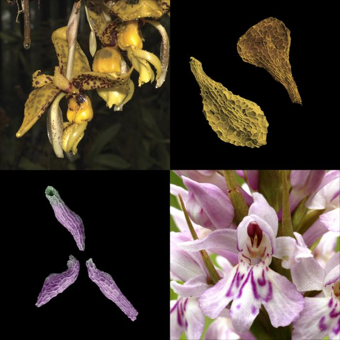 Yellow flower of Stanhopea species and the corresponding seeds. Below is the white and pink common spotted orchid and corresponding tiny seeds.