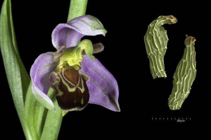 Magnificent flower of the bee orchid with tiny seeds of the early spider orchid