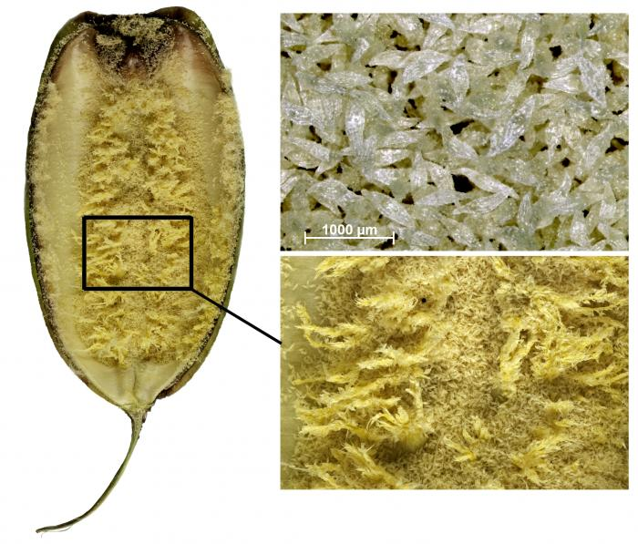 An open fruit of the Asian tiger orchid (Grammatophyllum speciosum) showing the placenta with some remaining seeds and a close-up of the seeds