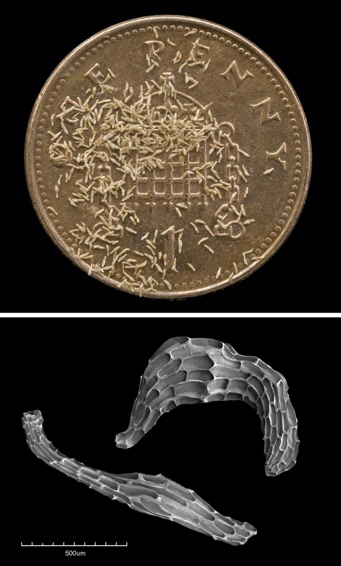seeds of the Wild Coco (Eulophia alta), on a British one penny coin and two seeds of the same species in the SEM