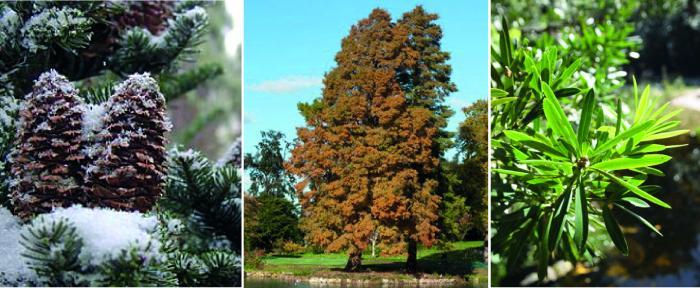 Diversity of conifers