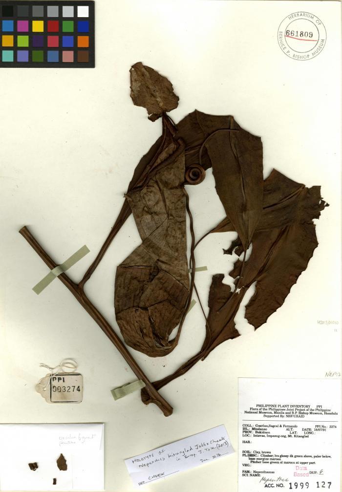 Herbarium specimen of Nepenthes kitanglad