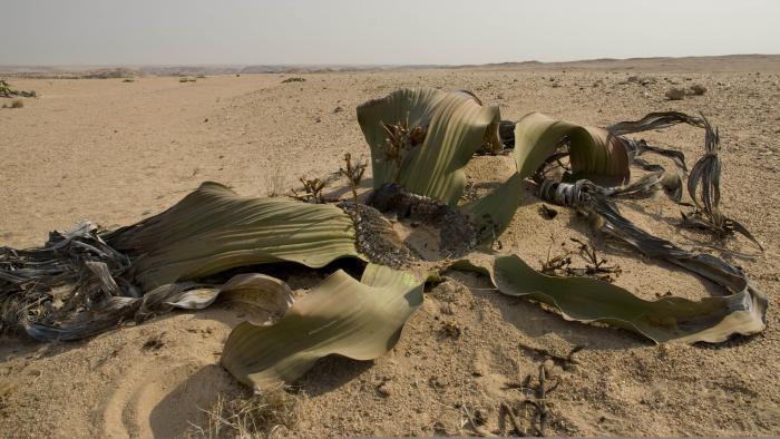 Photo of Welwitschia mirabilis