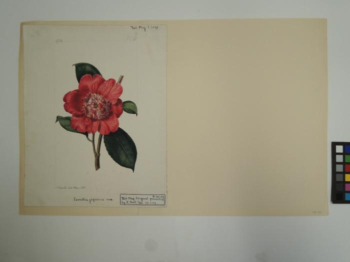 Camellia Japonica on backing paper before conservation work