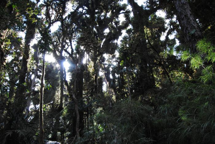 Image showing oak forest at the foot of the Cerros Tararia in Costa Rica. The trees are heavily festooned in bromeliads and liverworts