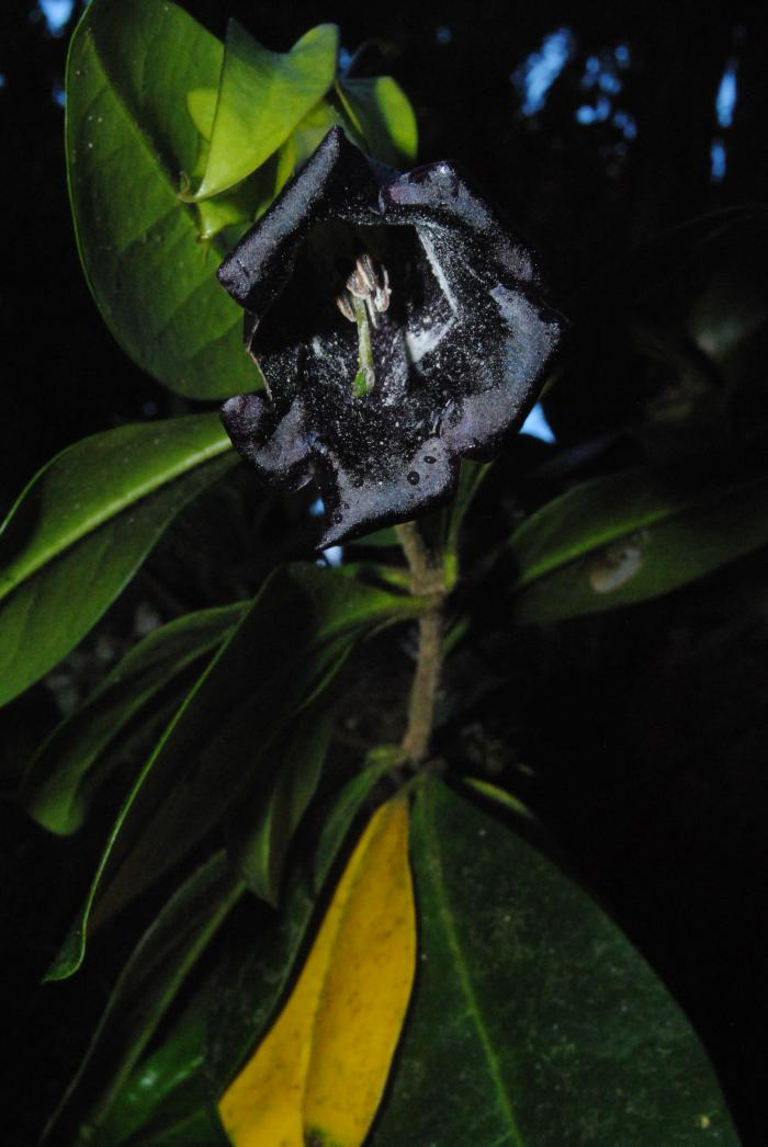 Image showing Schultesianthus crosbyanus, an unusual epiphyte in the Solanaceae family found endemic to wet high elevation oak forest.