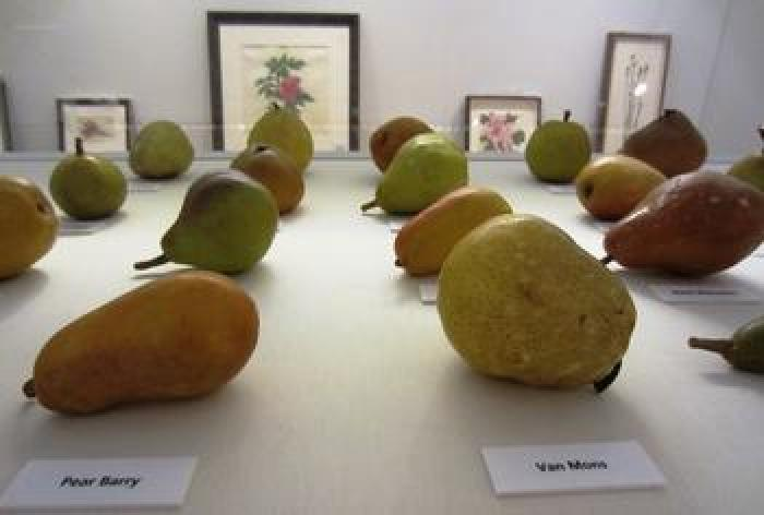 The pear models at the Shirley Sherwood Gallery of Botanical Art