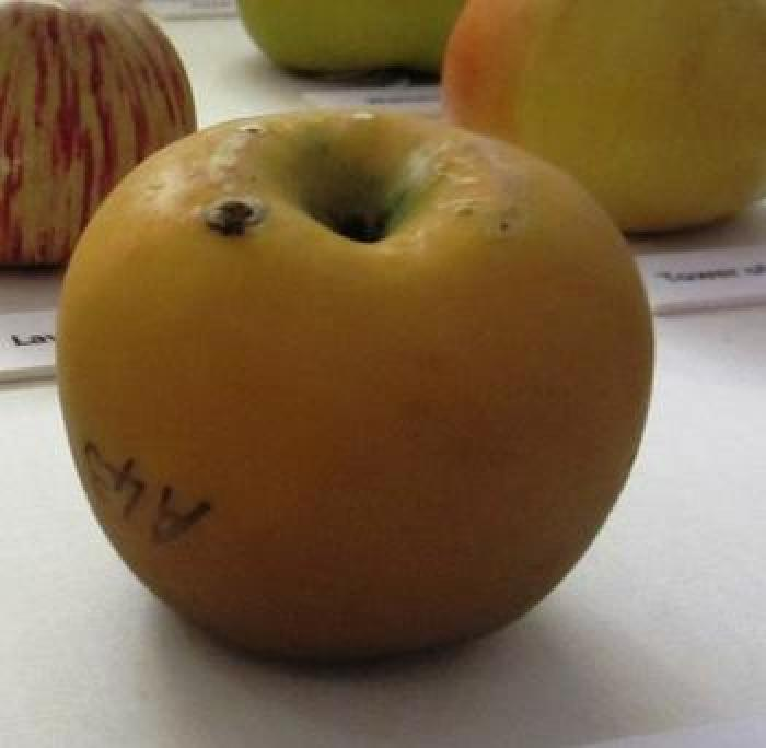 Model of a Mannington Pearmain apple, showing insect bore-hole