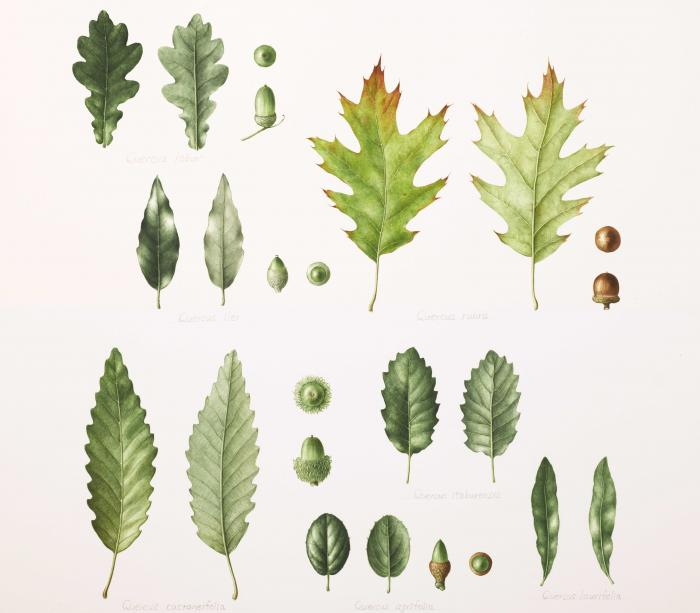 An image of oak leaves and acorns from Kew Quercus spp. Masumi Yamanaka, Watercolour on paper. Private collection.