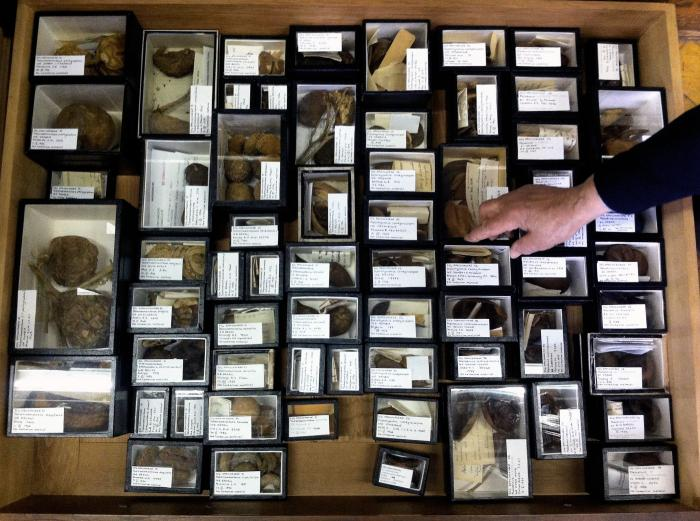 Image showing a drawer of the Apocynaceae carpological collection after re-curation
