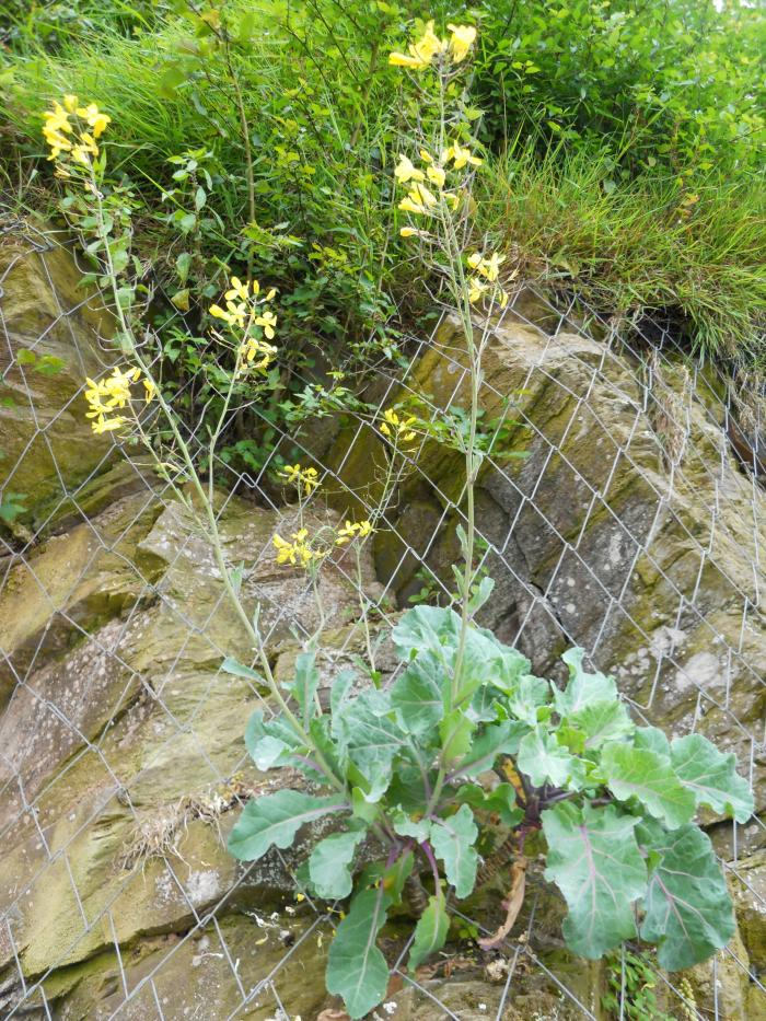 Image showing Brassica oleracea growing on a cliff edge in Cornwall