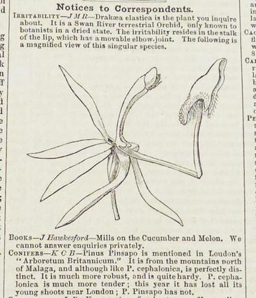 Drakaea elastica pictured in The Gardeners' chronicle: a weekly illustrated journal of horticulture and allied subjects 1848, p424.
