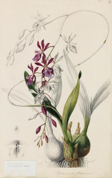 Epidendrum phoeniceum illustration for Plate XLVI from Sertum Orchidaceum - A Wreath of the Most Beautiful Orchidaceous Flowers
