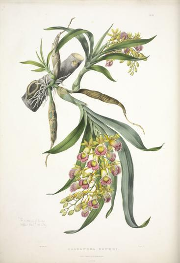 Illustration by Miss Drake of Galeandra baueri - Plate 19 from The Orchidaceae of Mexico and Guatemala.
