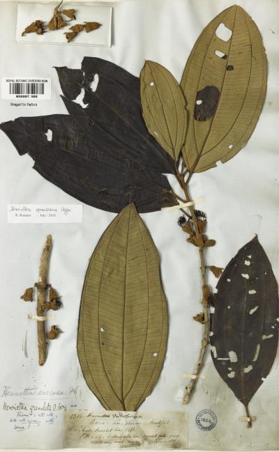 Henrietta spruceana specimen