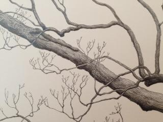 Photo of a detail of Lydham Manor Oak (Quercus robur) by Mark Frith