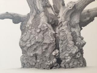 Photo of an image detail of Lydham Manor Oak (Quercus robur) by Mark Frith