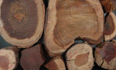 Paubrasilia echinata wood in the collection of the Rio de Janeiro Botanic Garden (Image: H.C. de Lima)
