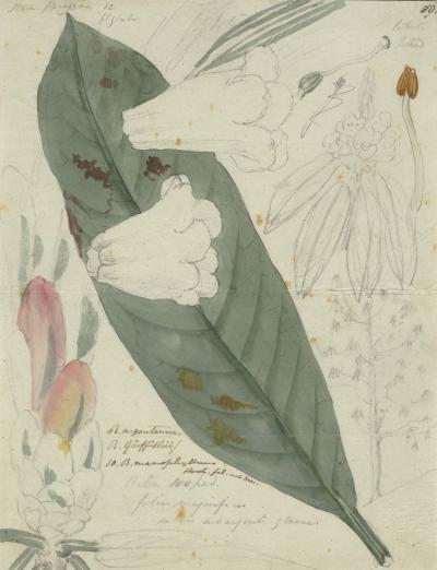 Field Sketch by Joseph Hooker of rhododendron grande ex.argenteum c.1847-1851