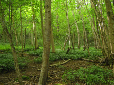 Tilgate Wood at Wakehurst, UK provides the focus of comparisons between the seed biology of ancient and contemporary woodland species (Photo: Cristina Blandino).