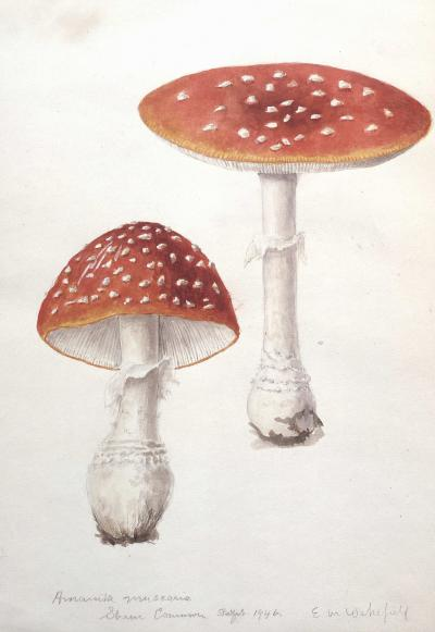 Amanita muscarias by Wakefield