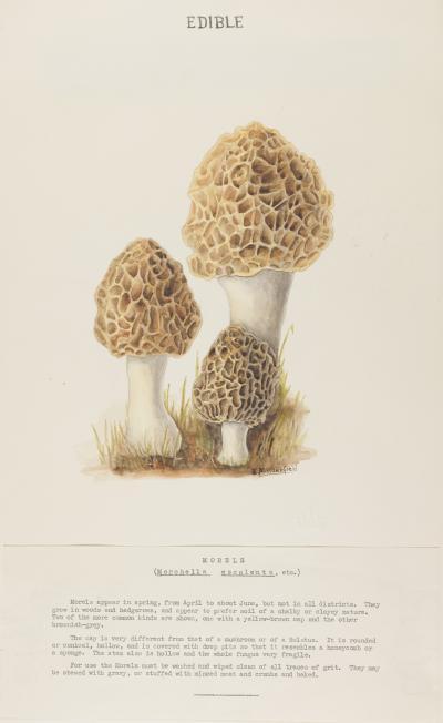 Morchella esculenta by Wakefield